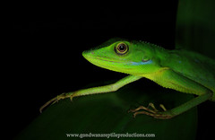 Gunung Raya Green-crested lizard