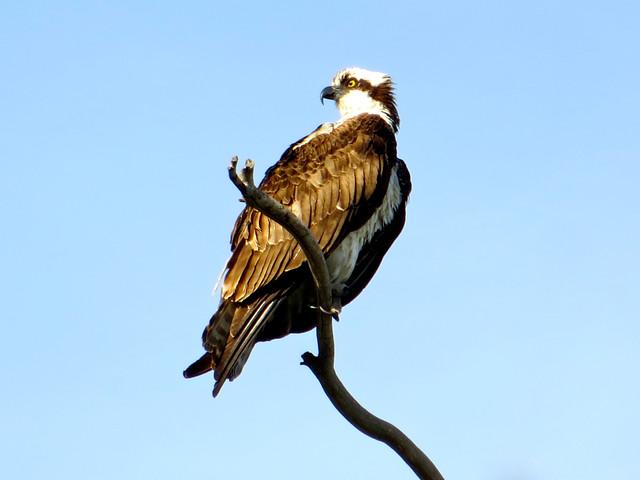 the osprey in bluffs park
