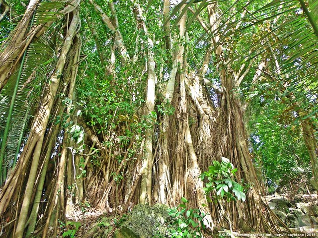 Tigayon Hill - Balete Tree