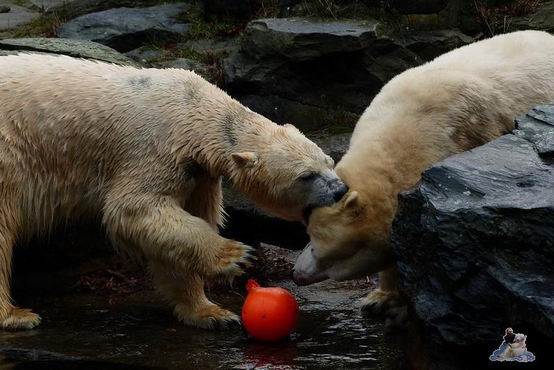 Tierpark Berlin Eisbären 20.12.2014 53