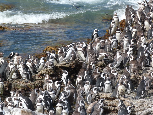Pingüinos africanos en Stony Point (Betty`s Bay, Sudáfrica)