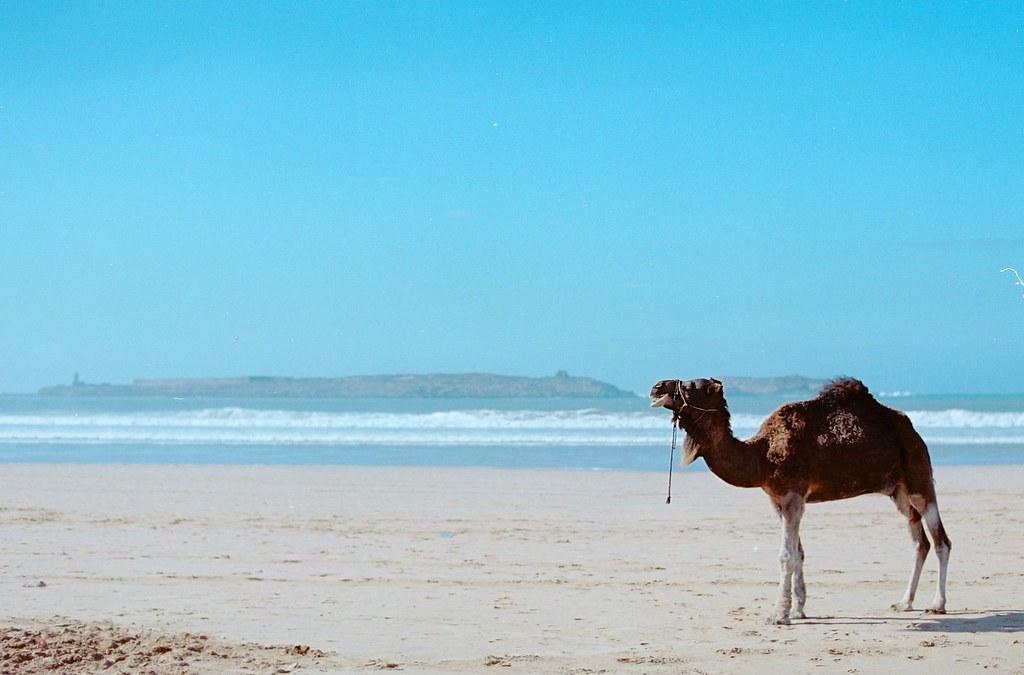 Camel beach Morocco