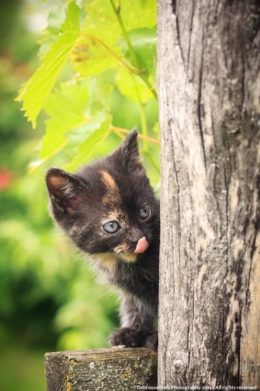 Motiv fotografiranja: mačke - Page 6 16046518172_383accae2b_c