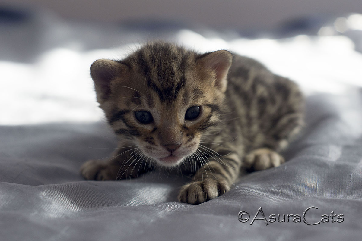 Brown spotted/rosetted Bengal kitten