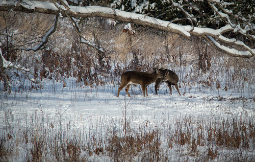 Deer were the most visible wildlife I saw during my visit. Here two bucks greeting each other. 1/250 @ f8, ISO 400.
