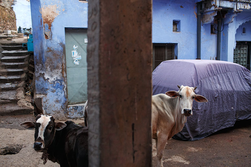 Two Cows - Bundi, India