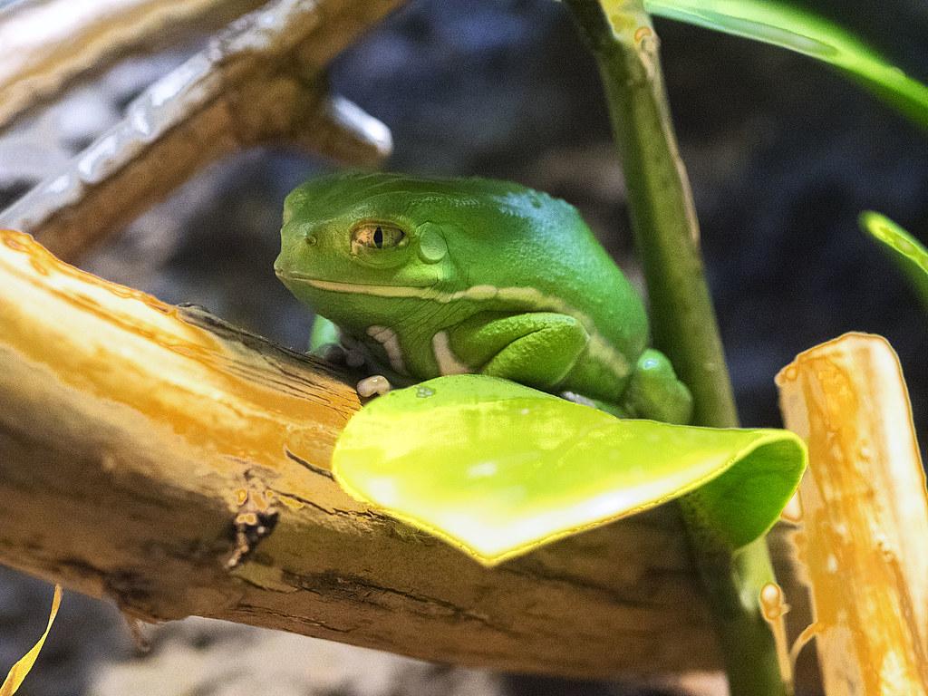 Nashville Zoo 08-27-2014 - Waxing Monkey Frog 1