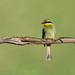 Little Bee-eater, Merops pusillus, Msuna Fishing Resort, Zambezi River, Zimbabwe by Jeremy Smith Photography