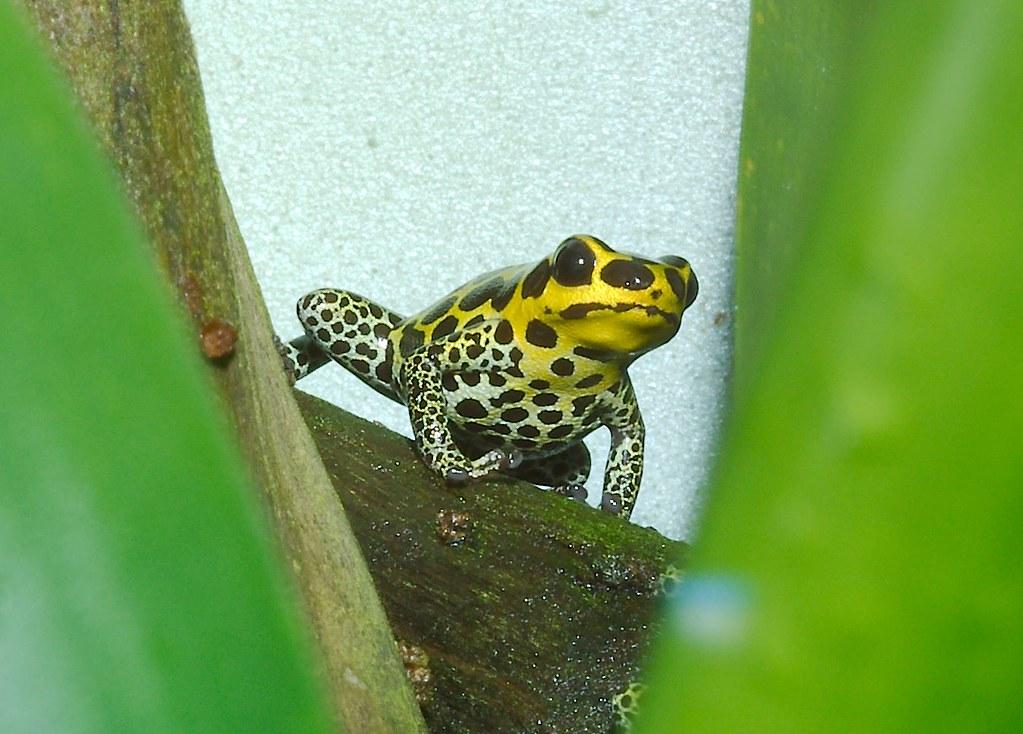 Mimic Poison Frog (Ranitomeya imitator)