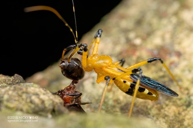 Assassin bug (Reduviidae) - DSC_3450