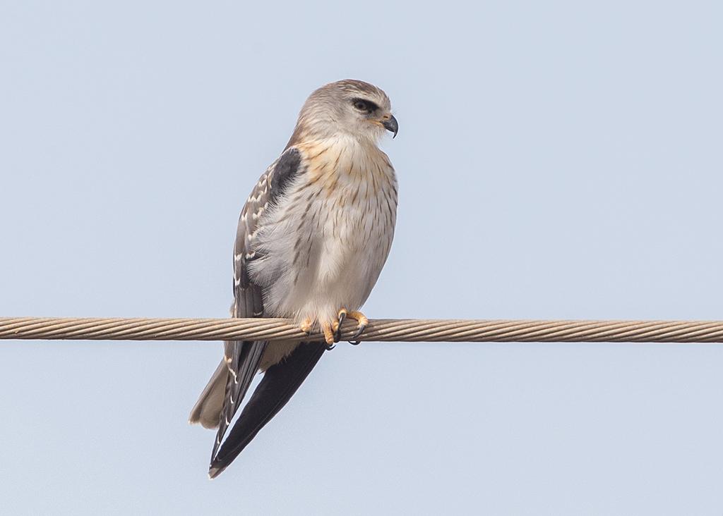 Black-shouldered Kite  Gambia