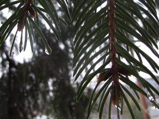 Rain on the Pine