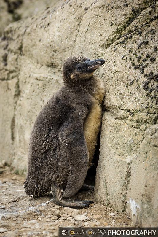 Baby Humboldt Penguin, Cotswold Wildlife Park
