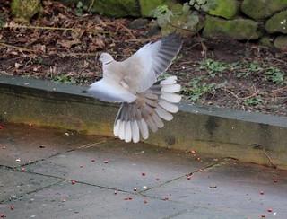 "Collared Dove ""Streptopelia decaocto"""