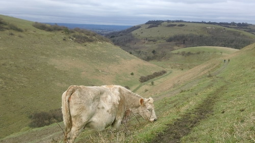 Lone cow grazing on upper slopes of Devil's Dyke