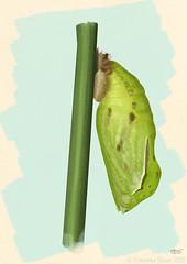 Maniola jurtina (Linnaeus, 1758) chrysalis (Lepidoptera: Nymphalidae)