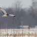 Northern Harrier by digiphotonut