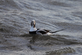 """Long-tailed Duck"" ""Clangula hyemalis"""