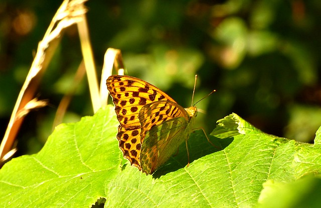 Silver-washed Fritillary Argynnis paphia (ar-GIN-iss PA-fee-uh)