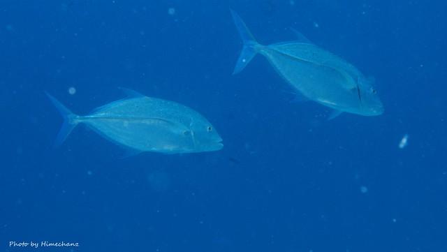 小魚アタックしまくってたカスミアジのペア