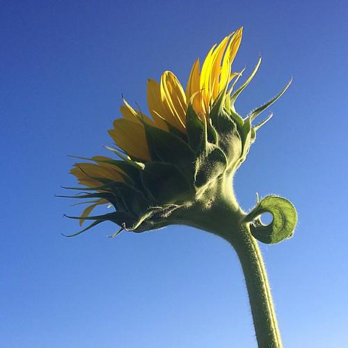 #popefarmconservancy #sunflowers2016 #scottalynch