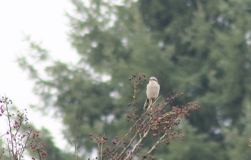 shrike northernshrike laniusexcubitor greatgreyshrike birdsofwashington washingtonbirds