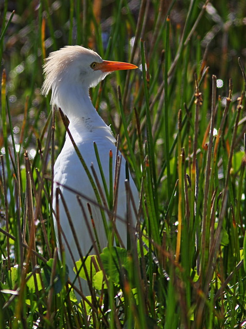 Cattle Egret 20150212