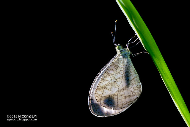 Psyche butterfly (Leptosia nina malayana) - DSC_7261