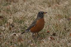 animal, perching bird, fauna, old world flycatcher, beak, bird, wildlife,