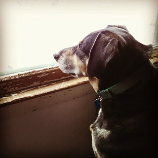 Tut, keeping an eye on the trash. He knows that crazy man is coming to steal it again. #dogstagram #instadog #rescued #coonhoundmix #guarddog