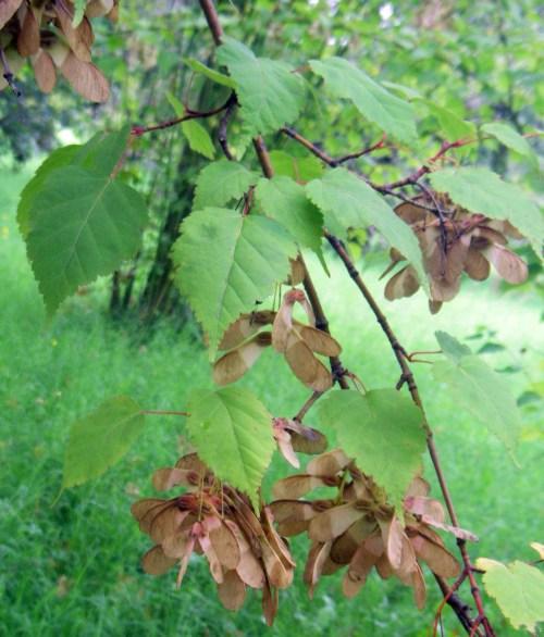 Acer stachyophyllum 15346594973_6a4be8e652_o