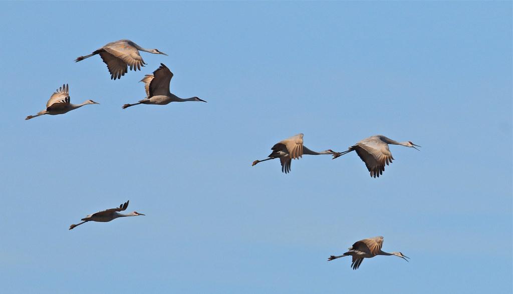 Sandhill Crane--2014冬