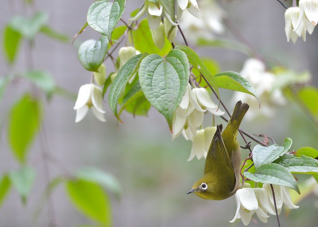 winter clematis and japanese white eye flickr photo sharing. Black Bedroom Furniture Sets. Home Design Ideas