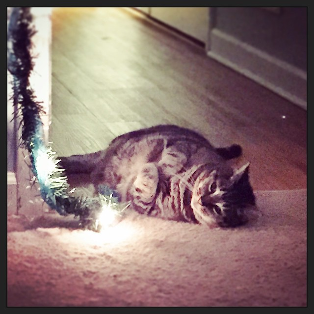 Stella loves the Christmas lights.  #taralovesChristmas #catsofinstagram