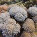 Soft Corals   Moyo Island by adiaphane