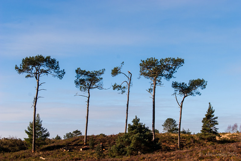 Trees on Canford Heath