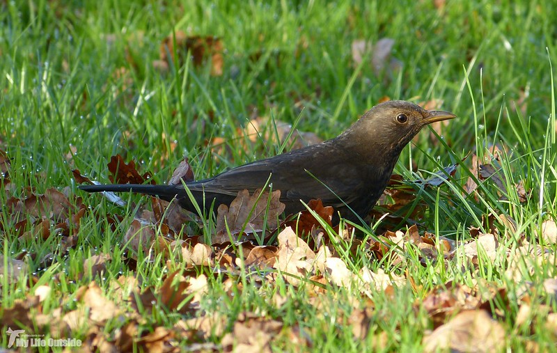 P1100387_2 - Blackbird, Lower Brockhampton