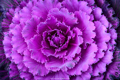 Violet Cabbage.