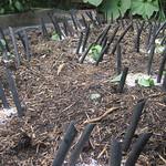broccoli in Urban_Food_Garden's CROMPTON STREET GARDEN - Main vegetable beds