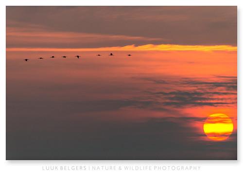 orange birds sunrise warm cranes d800 meinweg 500mmf4
