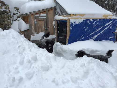 coop snowed under IMG_0049