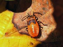 chinche de la malva arbórea * Pyrrhocorris apterus