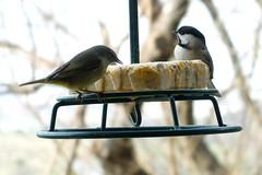 Orange-crowned Warbler & Chickadee