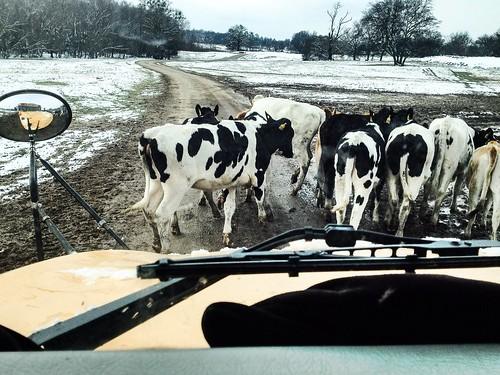 2.26.15 Cattle Bustlin'