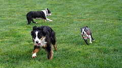 animal, dog, grass, appenzeller sennenhund, pet, mammal, greater swiss mountain dog, entlebucher mountain dog, bernese mountain dog,