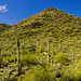 Saguaro Cacti at Cave Creek Park, Arizona