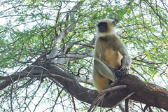Monkey @Lonar Crater