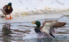 The ducks are ready for this polar vortex to end