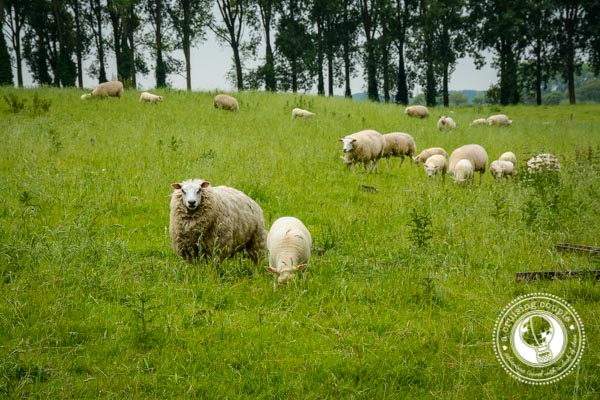 Sheep in Belgium