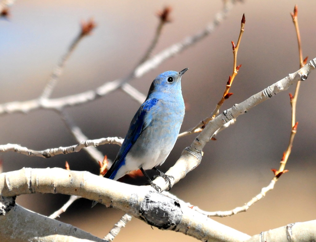 Mountain Bluebird at Seedskadee National Wildlife Refuge